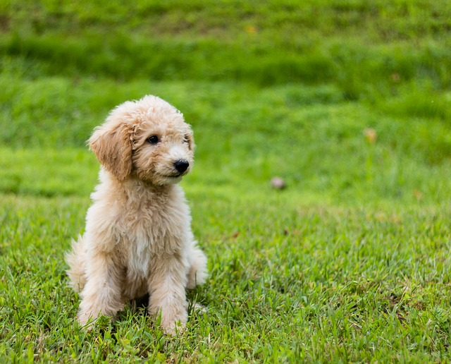 goldendoodle puppy pup