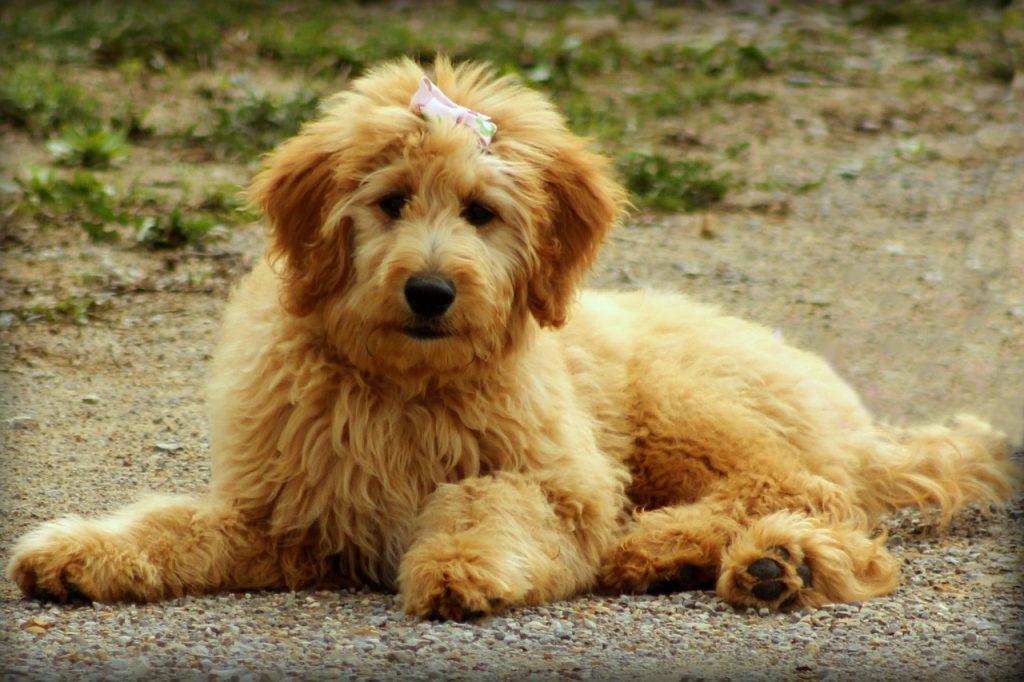 goldendoodle karakter