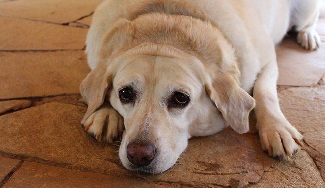 labrador hond overgewicht afvallen
