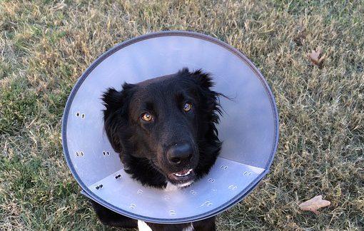 puppy steriliseren kap