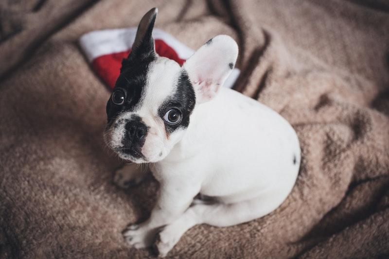 franse bulldog puppy karakter