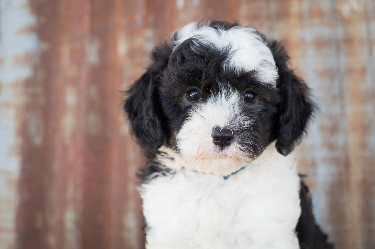sheepadoodle pup puppy hond schapendoodle