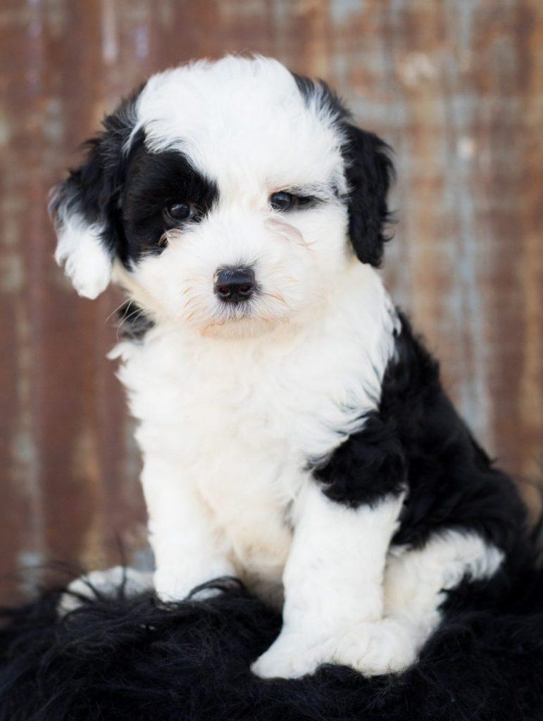 schapendoedel pup