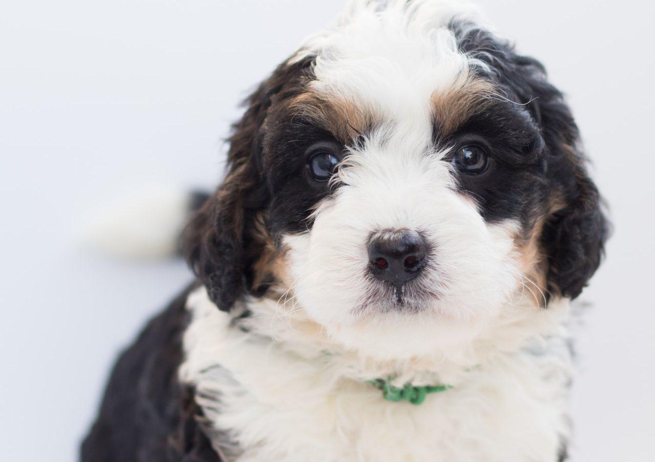 bernedoodle pup hond karakter