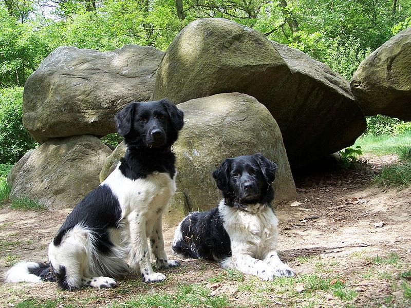 friese stabij ras karakter pup
