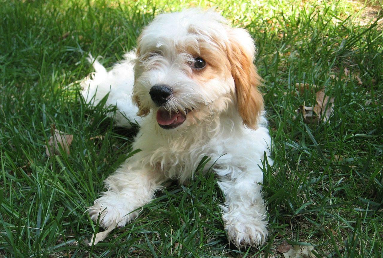 cavapoo cavoodle hond pup