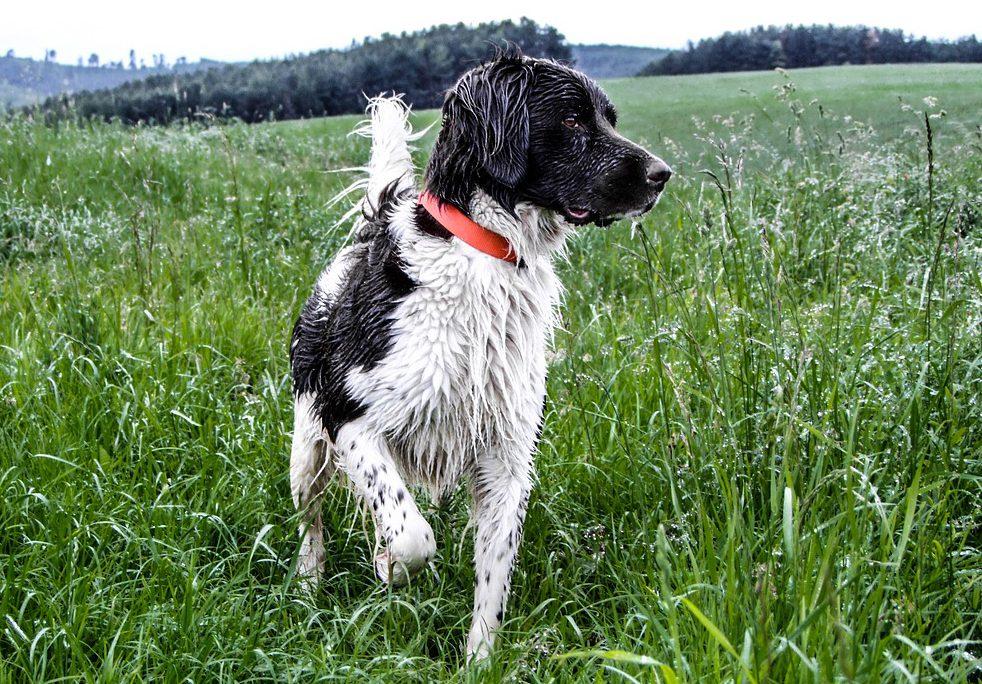 friese stabij ras hondenrassen