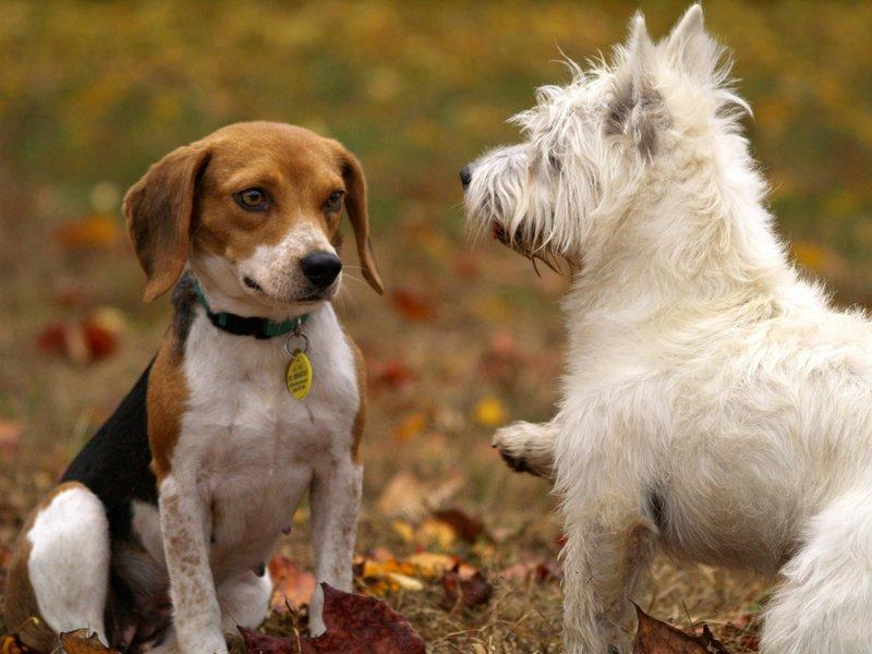 honden kalmerende signalen