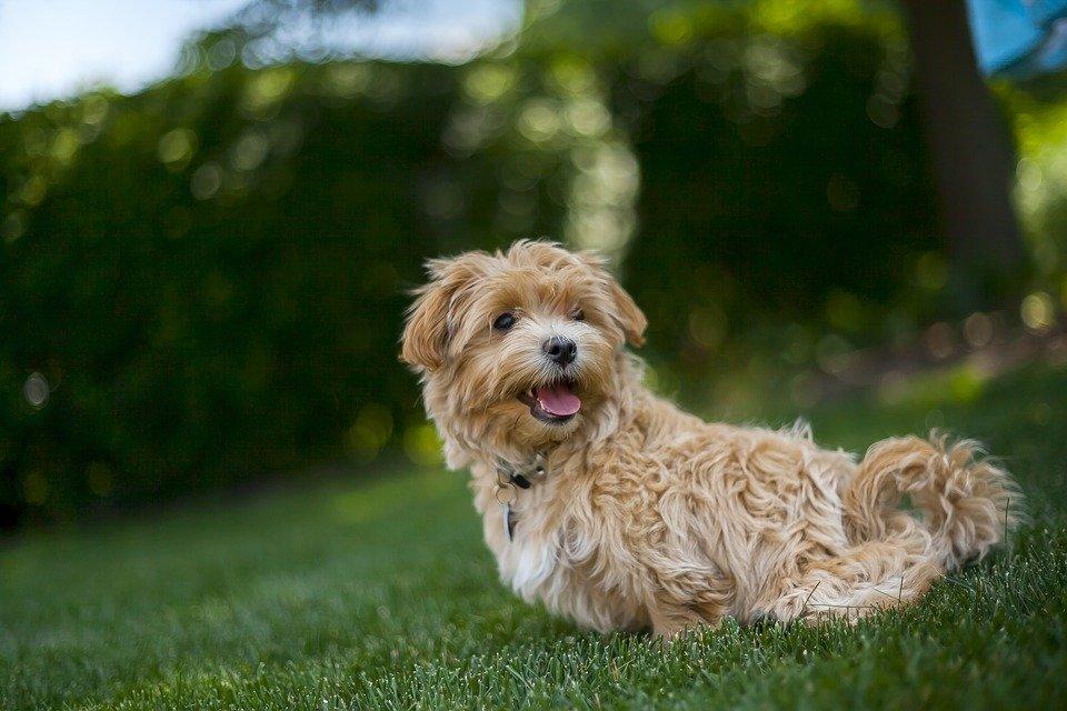 Maltipoo hondenras