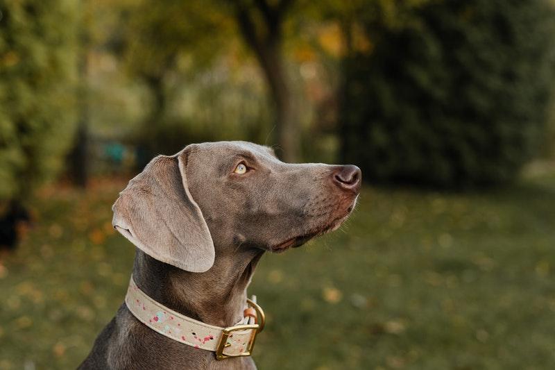 Weimarse staande hond weimaraner