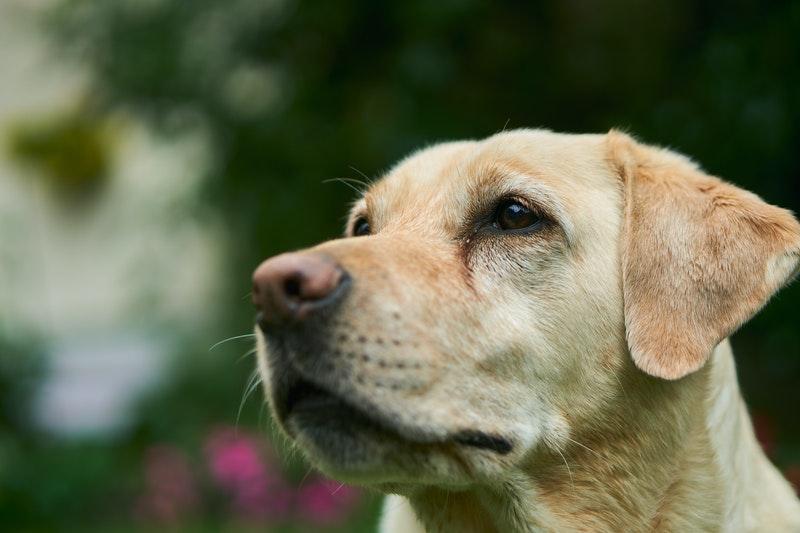 beste autobench voor labrador hondenbench auto