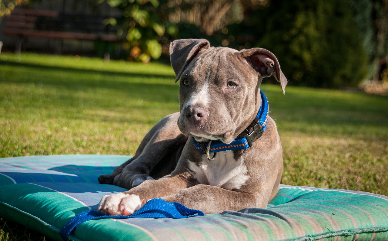 amstaff amerikaanse staffordshire terrier