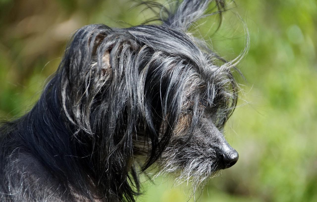 chinese naakthond opvoeding