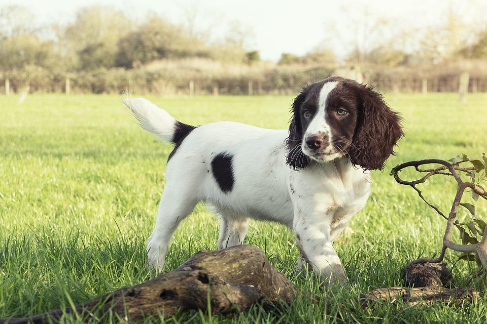 Engelse springer spaniel pup