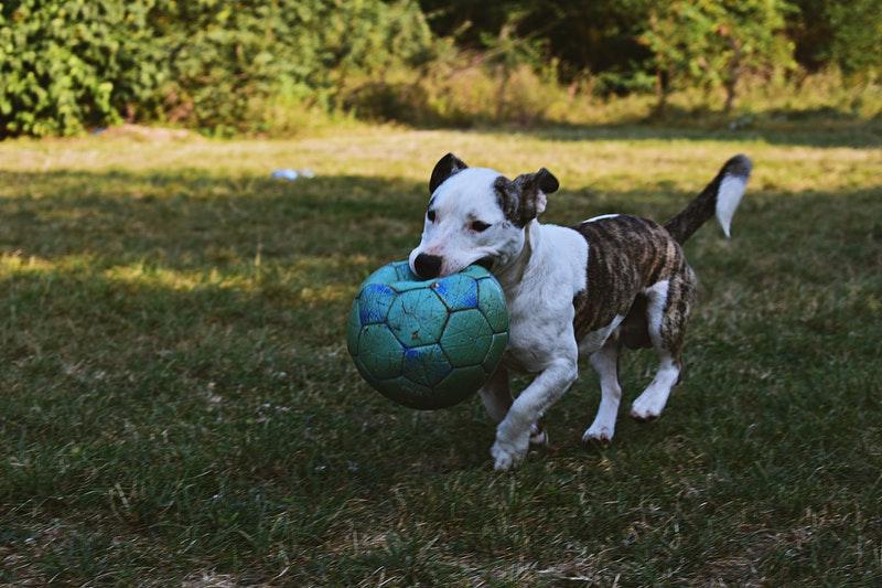 treibal voetbal met de hond