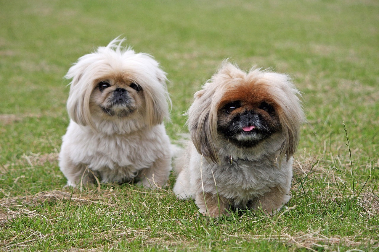 Pekinees hond