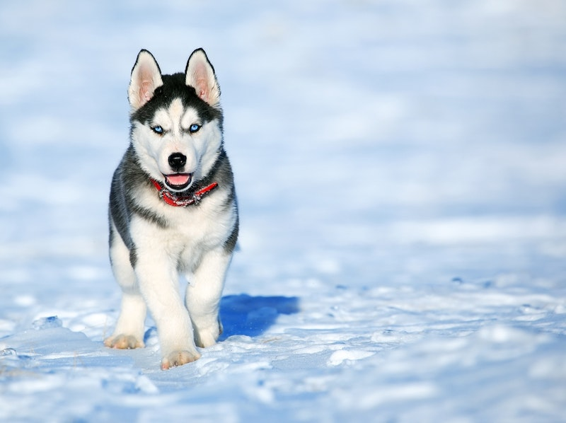 siberische husky pup verzorging tips