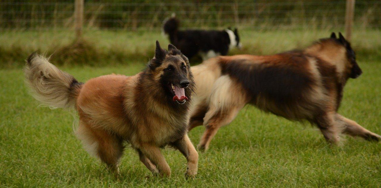 belgische herder tervuerense shepherd