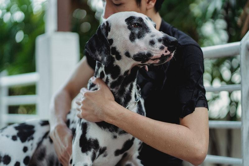 dalmatiër hond kenmerken karakter