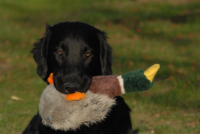 flatcoated retriever hond ras